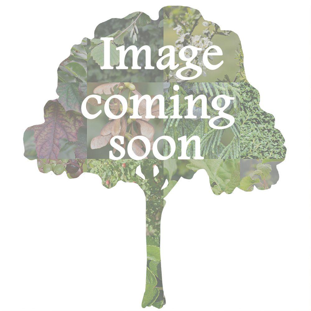 Populus nigra betulifolia (Native Black Poplar)